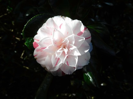 A different-lloking camelia beauty in Morab Subtropical Garden in Penzance.