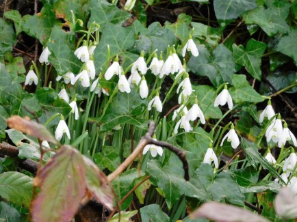 Snowdrops, as breathtaking as snowflakes..