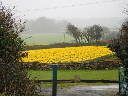 Daffodils, outside Carbis Bay