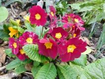 Primrose in a garden.