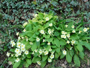 Primroses, prim and proper, grace Cornish hedges.