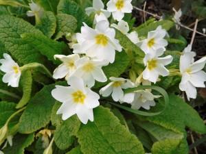 Wild primroses.