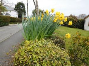 Daffodil chorus lustily sings.