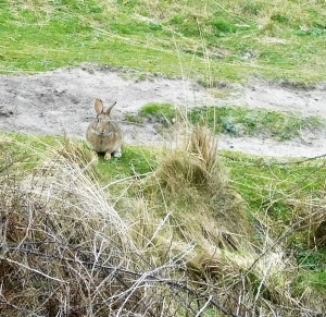 A hare stopped long enough to get this long distance shot.