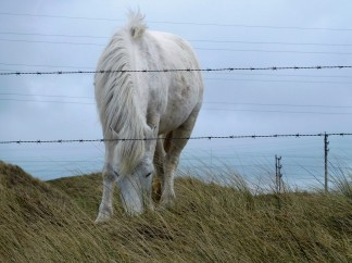 One of the wild horses on the Towans (and dunes)