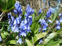 Bluebells are still to pop in profusion.