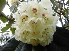 A rhododendron?