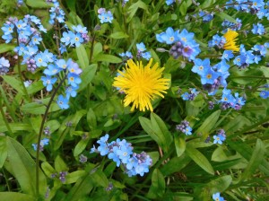 The ubiquitous dandelion shows its face among the Forget-Me-Nots.