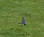 What bird is this? I caught a photo as it flew about as though chasing us from its nesting area.