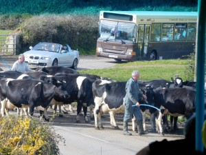 After long walk we rode the double decker bus on back roads to Lands End. Milking time road-crossing brought out the cameras.
