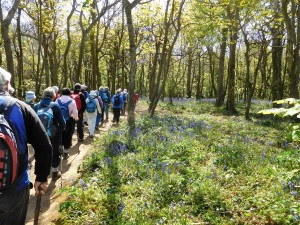 Thirty-one of us gathered for the Tehidy Woods walk, among carpets of Bluebells.