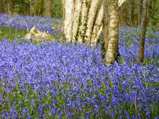 Carpet of blue. The Bluebells, we were told, were late in blooming, these were said to be at only 50 percent, peak yet to come. Fifty percent was 100 percent good enough for us.