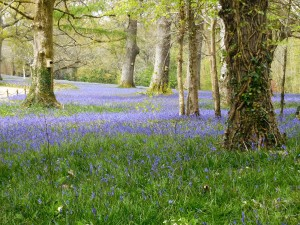 Bluebells we saw at Enys Estate, near Truro. Primroses get their due in the foreground.