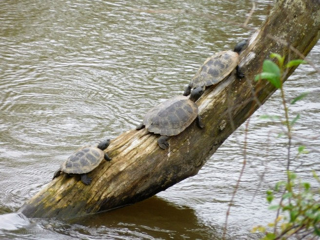 On the way to the grocery store we came across these three turtles sunning on a tree in the Elkhart River.