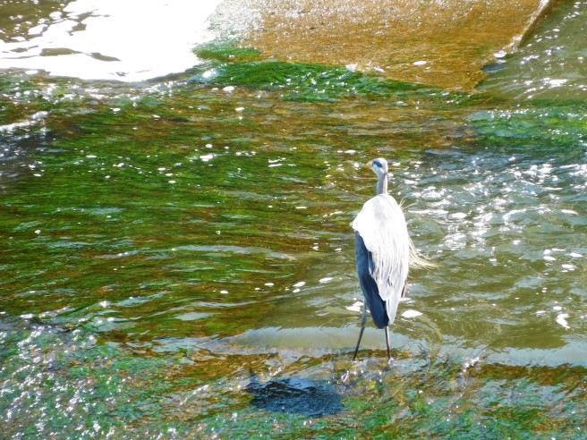A heron anticipates lunch at the base of the dam at the Johnson Street Bridge.