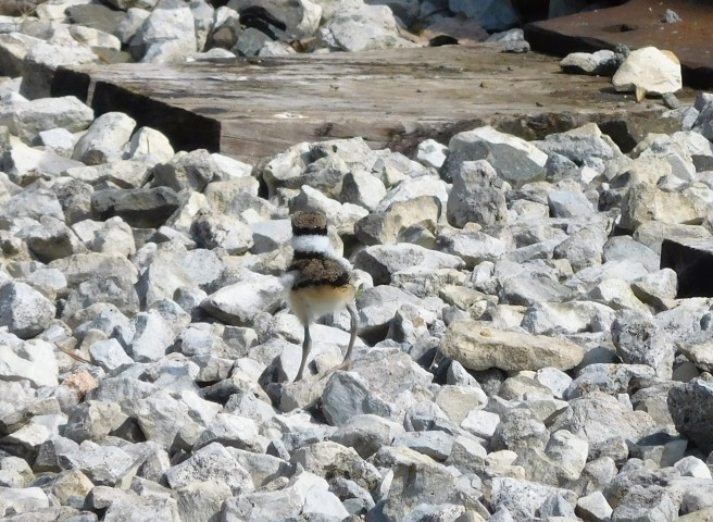 A baby Killdeer in Elkhart.