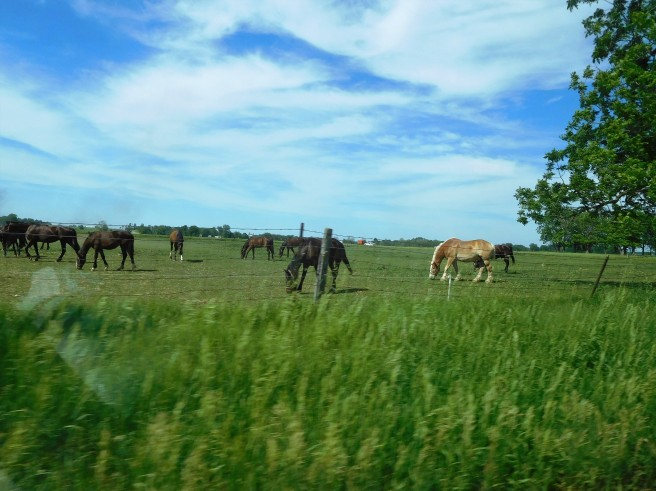 LaGrange County Amish raise lots of horses.