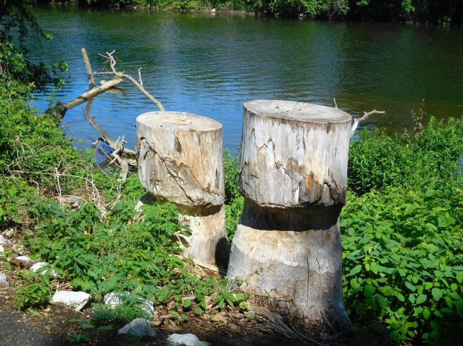 They've been here, done that, pesky beavers on the Elkhart River.