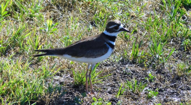 The Killdeer has its work cut out for it in protecting its young as urban mowers move across the landscape.