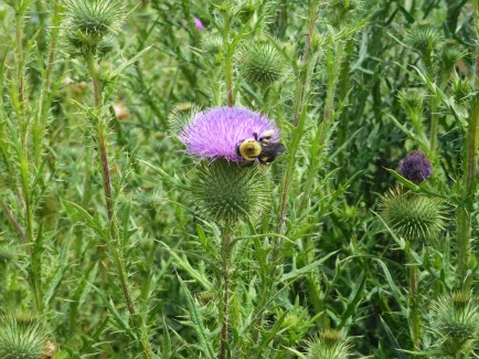 I'm not the only one to find the thistle bloom attractive.