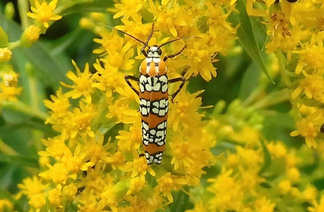 An insect I don't recognize feasts on goldenrod.
