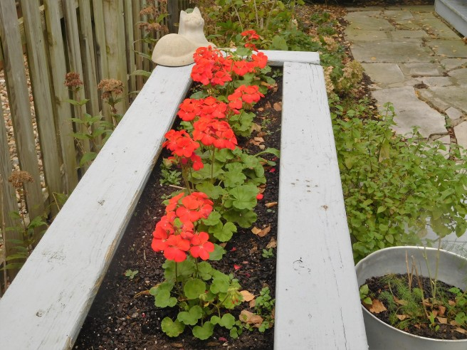 These geraniums only came into their own a few weeks ago. Squirrels have commandeered the planter.