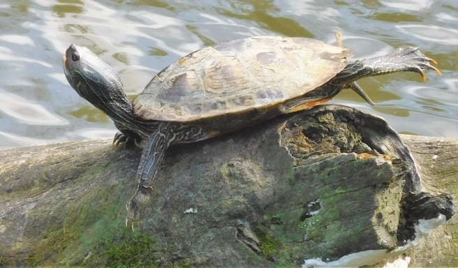 The big turtle sat at the upper part of the log, By now we must be familiar to them.