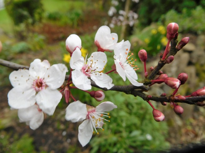 Cherry blossoms? Saw them Saturday on the South West Coastal Path as we walked into St Ives.